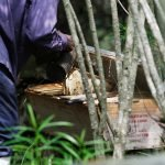 Harvesting the Kenya top bar hives