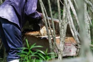 Harvesting the Kenya top bar hives