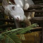 The goat produces approximately six to eight cups of milk daily.