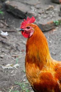 chicken-2-200x300